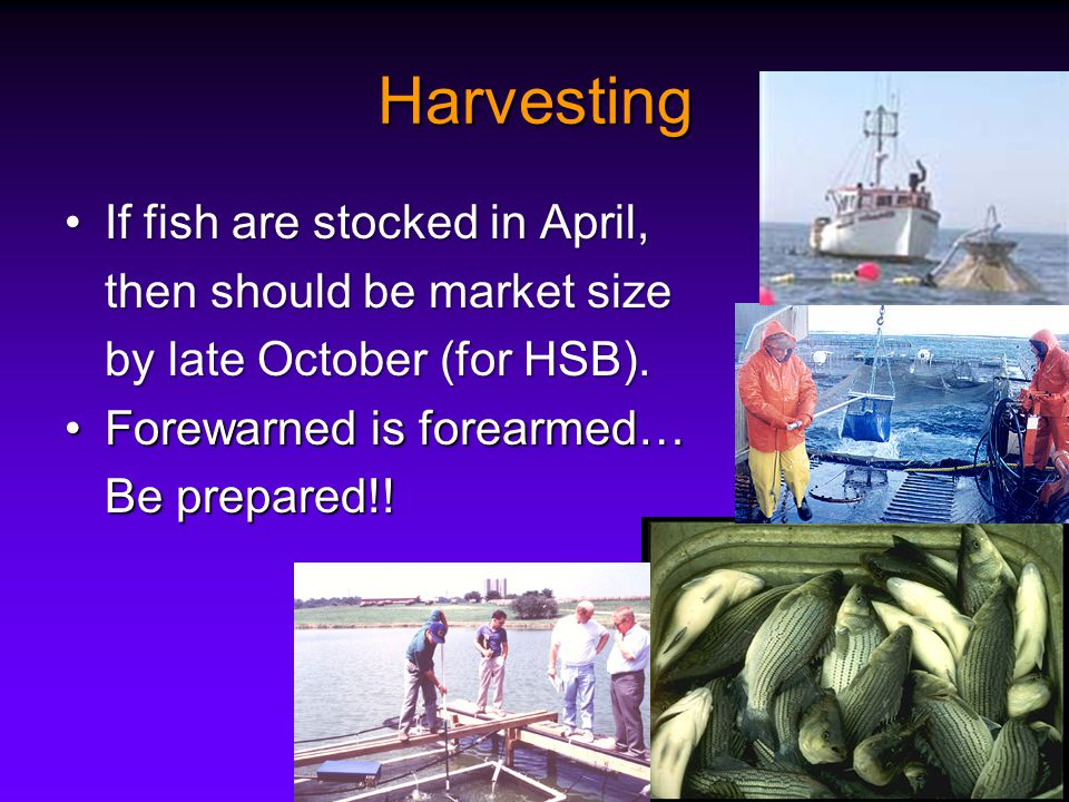 Harvesting If fish are stocked in April,If fish are stocked in April, then should be market size by late October (for HSB).