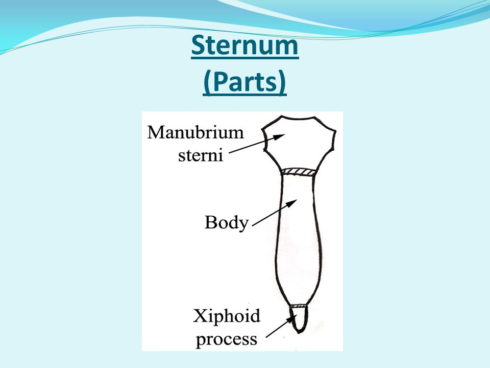 Sternum (General features)
