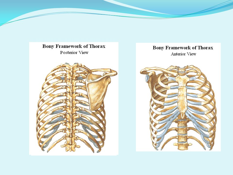 Thoracic Cage - The thoracic cage consists of the sternum, the ribs, and the thoracic vertebrae.