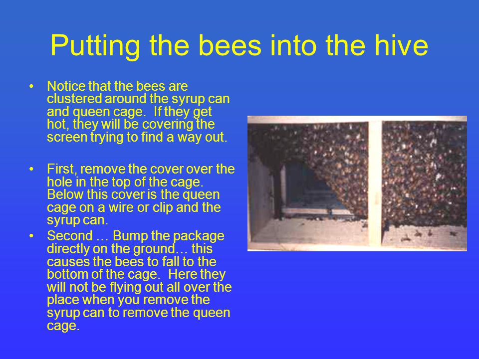 Beekeeping Factors to consider The first egg the queen lays will take 21 days to emerge as an adult.