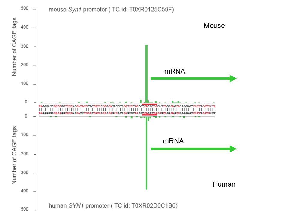 Mouse Human mRNA