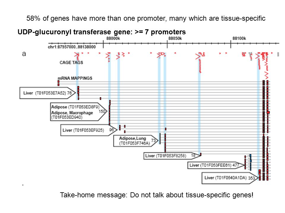 58% of genes have more than one promoter, many which are tissue-specific UDP-glucuronyl transferase gene: >= 7 promoters Take-home message: Do not tal