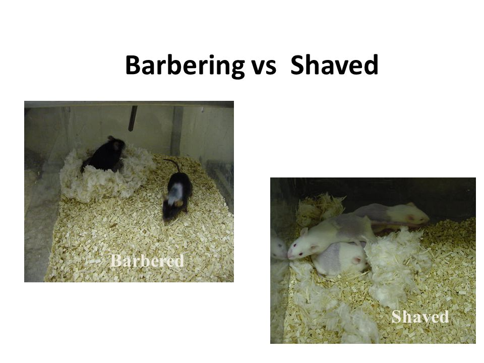 Barbering vs Shaved Barbered Shaved