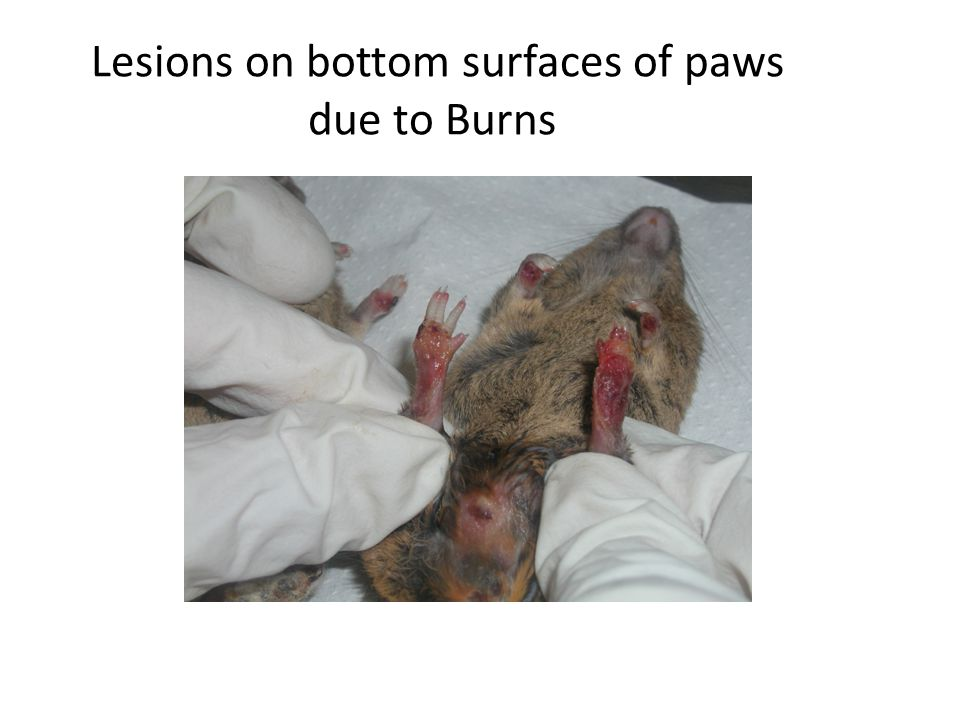 Lesions on bottom surfaces of paws due to Burns