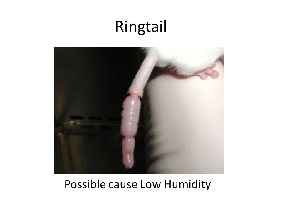 Ringtail Possible cause Low Humidity