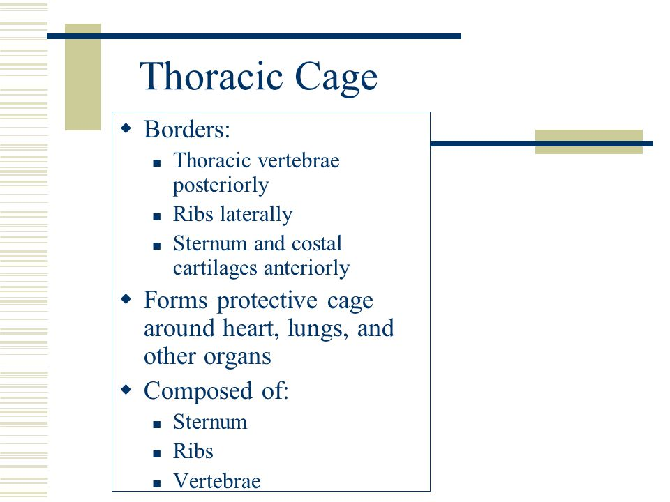 Thoracic Cage  Borders: Thoracic vertebrae posteriorly Ribs laterally Sternum and costal cartilages anteriorly  Forms protective cage around heart,