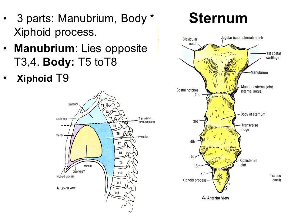 3 parts: Manubrium, Body * Xiphoid process. Manubrium: Lies opposite T3,4. Body: T5 toT8 Xiphoid T9 Sternum
