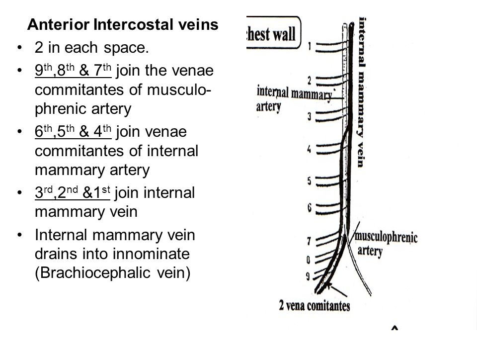 Anterior Intercostal veins 2 in each space. 9 th,8 th & 7 th join the venae commitantes of musculo- phrenic artery 6 th,5 th & 4 th join venae commita