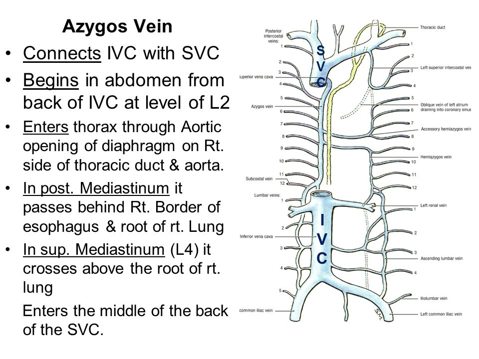 Azygos Vein Connects IVC with SVC Begins in abdomen from back of IVC at level of L2 Enters thorax through Aortic opening of diaphragm on Rt. side of t