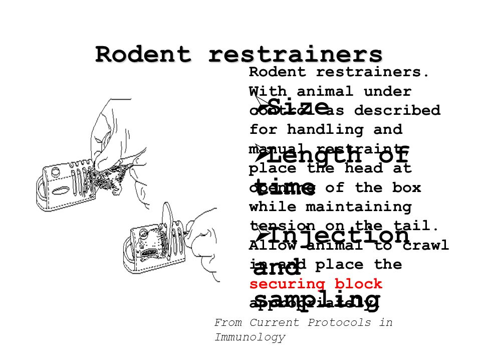 Rodent restrainers From Current Protocols in Immunology Rodent restrainers.
