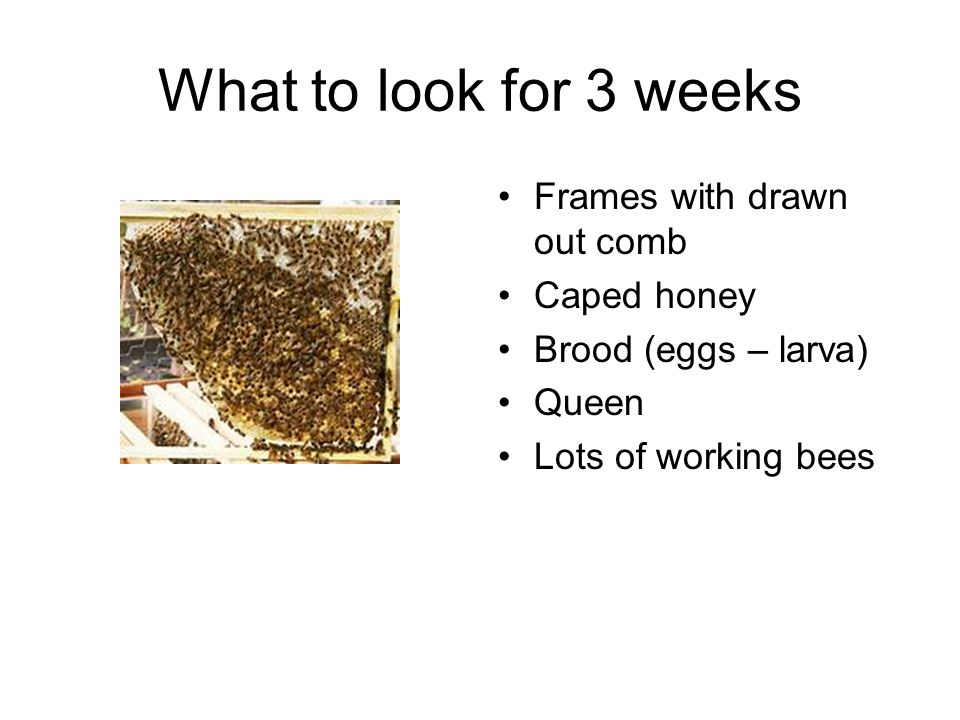 What to look for 3 weeks Frames with drawn out comb Caped honey Brood (eggs – larva) Queen Lots of working bees