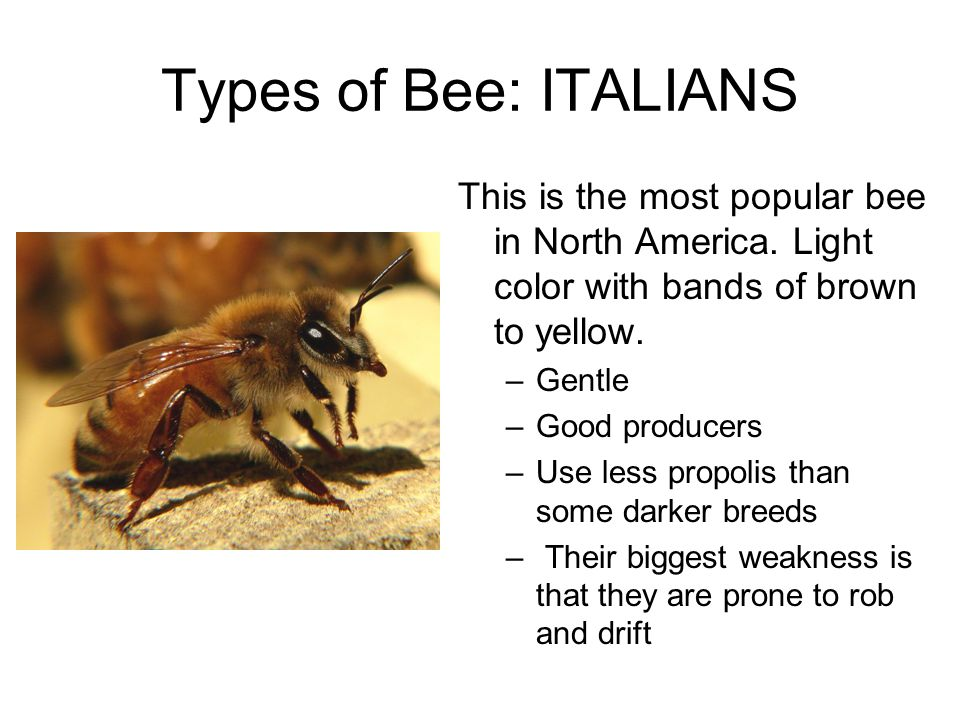 Types of Bee: ITALIANS This is the most popular bee in North America.