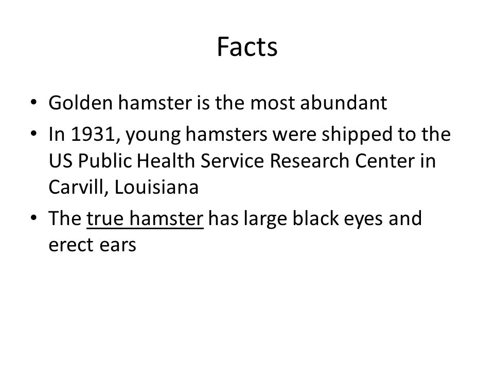 Facts Golden hamster is the most abundant In 1931, young hamsters were shipped to the US Public Health Service Research Center in Carvill, Louisiana The true hamster has large black eyes and erect ears