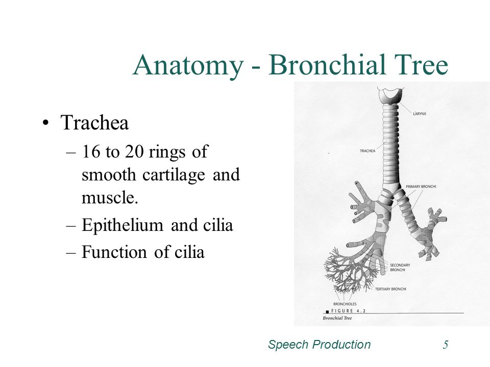 Speech Production5 Anatomy - Bronchial Tree Trachea –16 to 20 rings of smooth cartilage and muscle.