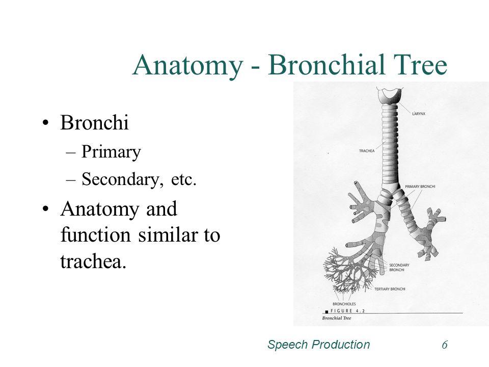 Speech Production6 Anatomy - Bronchial Tree Bronchi –Primary –Secondary, etc.