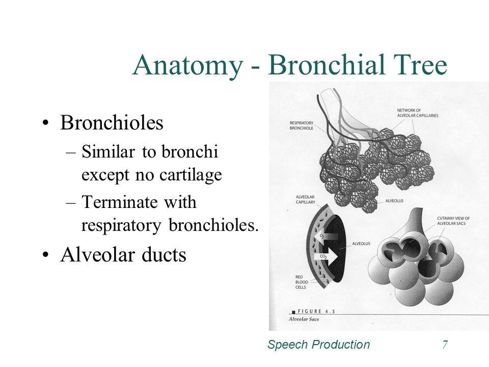 Speech Production6 Anatomy - Bronchial Tree Bronchi –Primary –Secondary, etc. Anatomy and function similar to trachea.