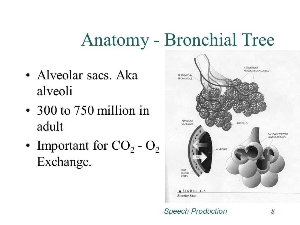 Speech Production7 Anatomy - Bronchial Tree Bronchioles –Similar to bronchi except no cartilage –Terminate with respiratory bronchioles. Alveolar duct