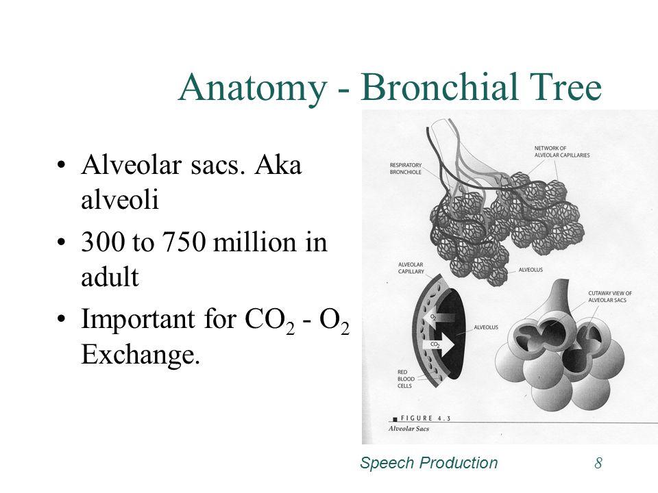 Speech Production8 Anatomy - Bronchial Tree Alveolar sacs.