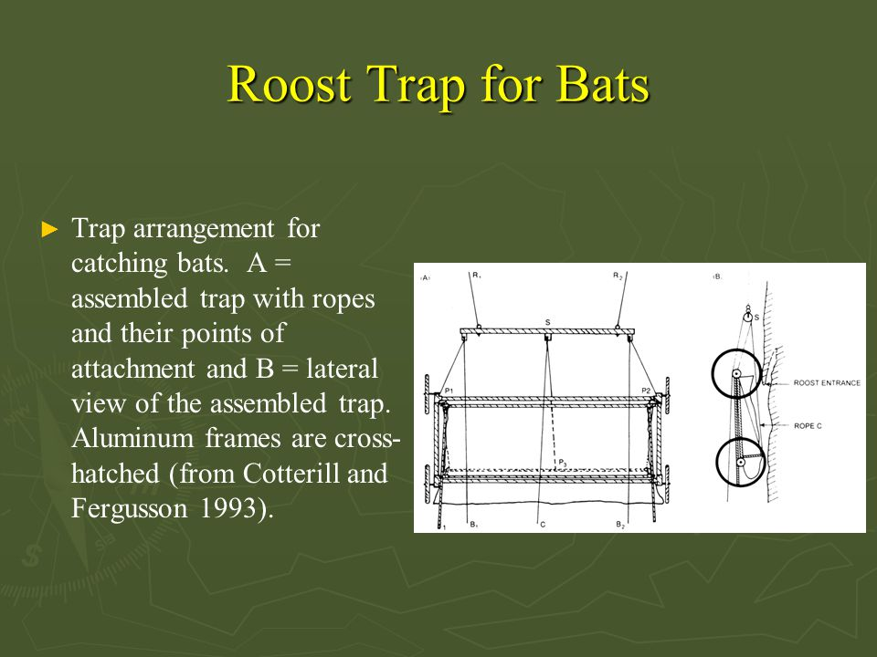 Roost Trap for Bats ► Trap arrangement for catching bats. A = assembled trap with ropes and their points of attachment and B = lateral view of the ass