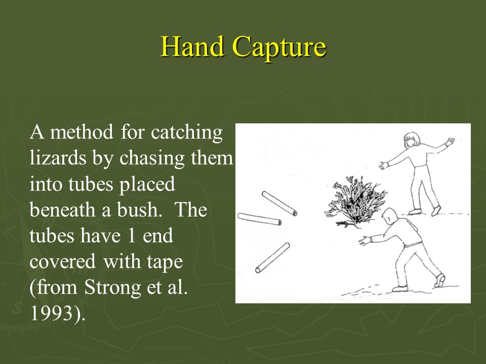 Hand Capture A method for catching lizards by chasing them into tubes placed beneath a bush. The tubes have 1 end covered with tape (from Strong et al