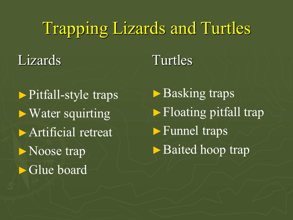 Trapping Lizards and Turtles Lizards ► Pitfall-style traps ► Water squirting ► Artificial retreat ► Noose trap ► Glue board Turtles ► Basking traps ► Floating pitfall trap ► Funnel traps ► Baited hoop trap