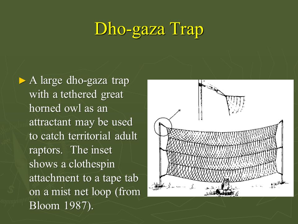 Dho-gaza Trap ► A large dho-gaza trap with a tethered great horned owl as an attractant may be used to catch territorial adult raptors.
