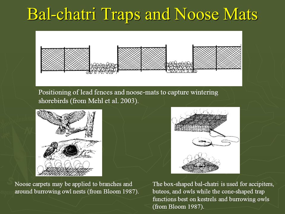 Bal-chatri Traps and Noose Mats Positioning of lead fences and noose-mats to capture wintering shorebirds (from Mehl et al. 2003). Noose carpets may b