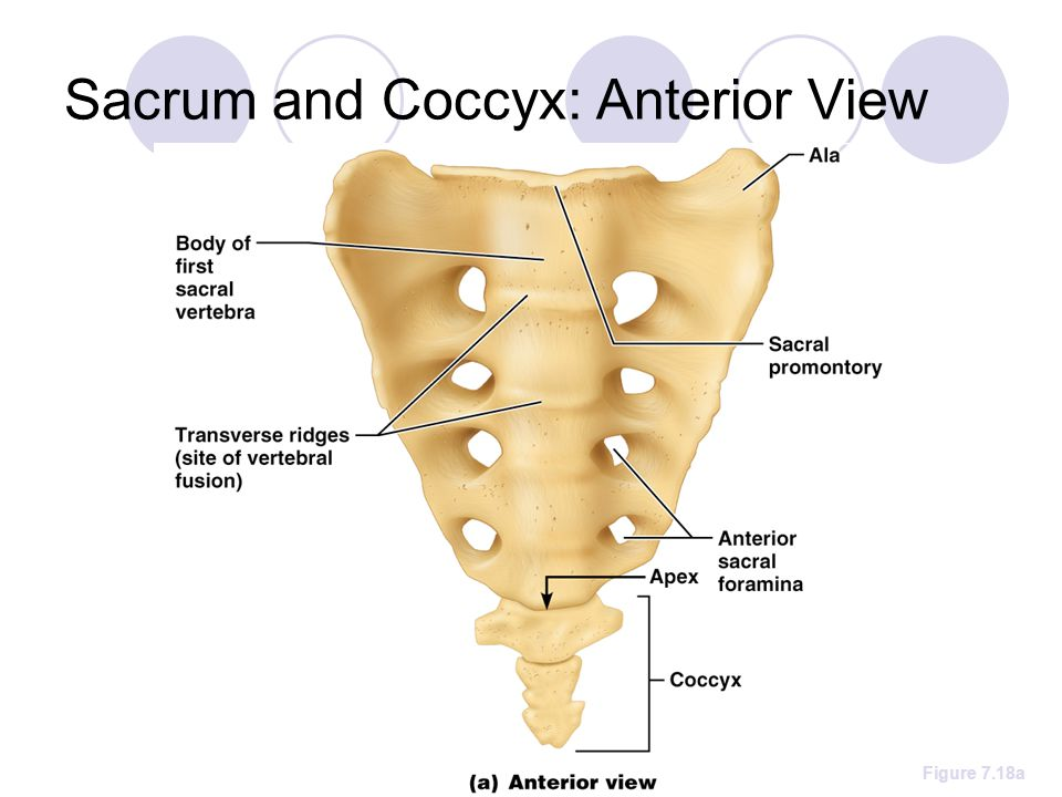 Sacrum and Coccyx: Anterior View Figure 7.18a