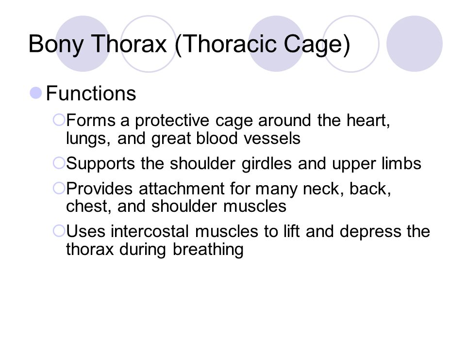 Bony Thorax (Thoracic Cage) Functions  Forms a protective cage around the heart, lungs, and great blood vessels  Supports the shoulder girdles and upper limbs  Provides attachment for many neck, back, chest, and shoulder muscles  Uses intercostal muscles to lift and depress the thorax during breathing
