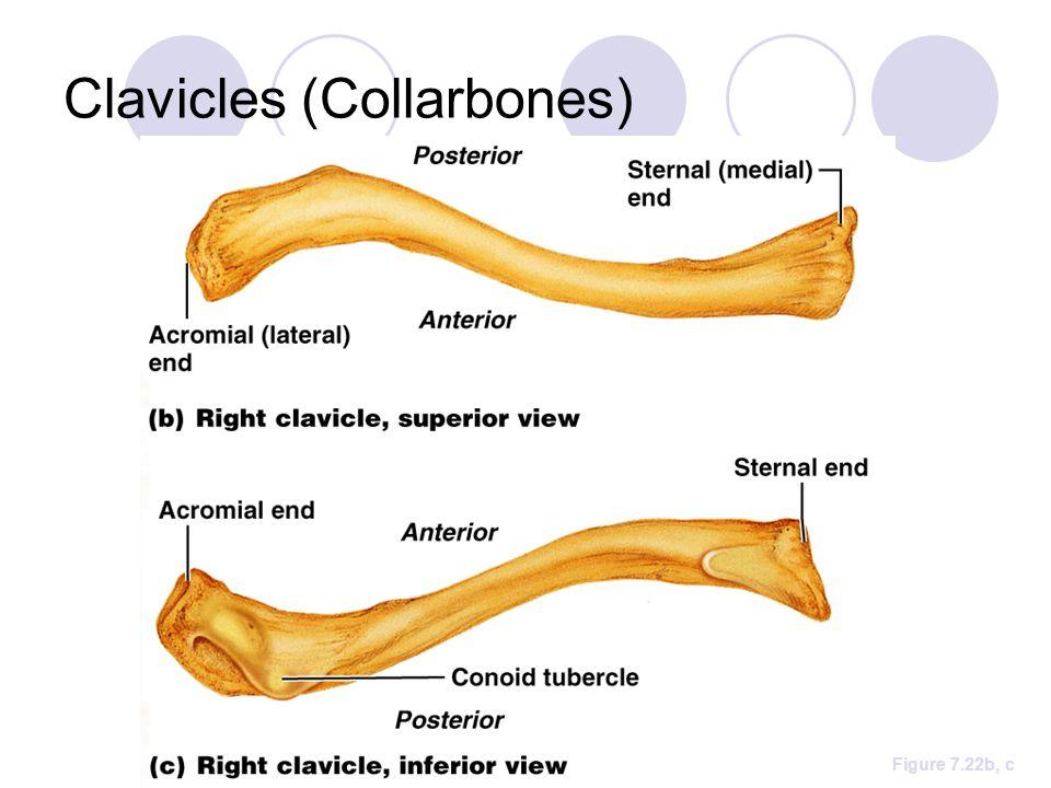 Clavicles (Collarbones) Figure 7.22b, c