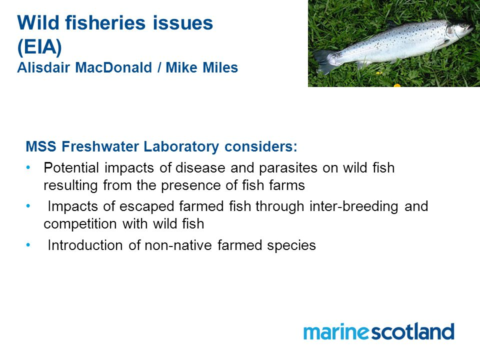 Wild fisheries issues (EIA) Alisdair MacDonald / Mike Miles MSS Freshwater Laboratory considers: Potential impacts of disease and parasites on wild fish resulting from the presence of fish farms Impacts of escaped farmed fish through inter-breeding and competition with wild fish Introduction of non-native farmed species