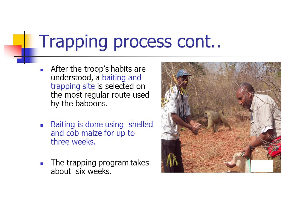 The traps Once the baboons have become habituated to a regular feeding routine on the site, the traps are introduced.