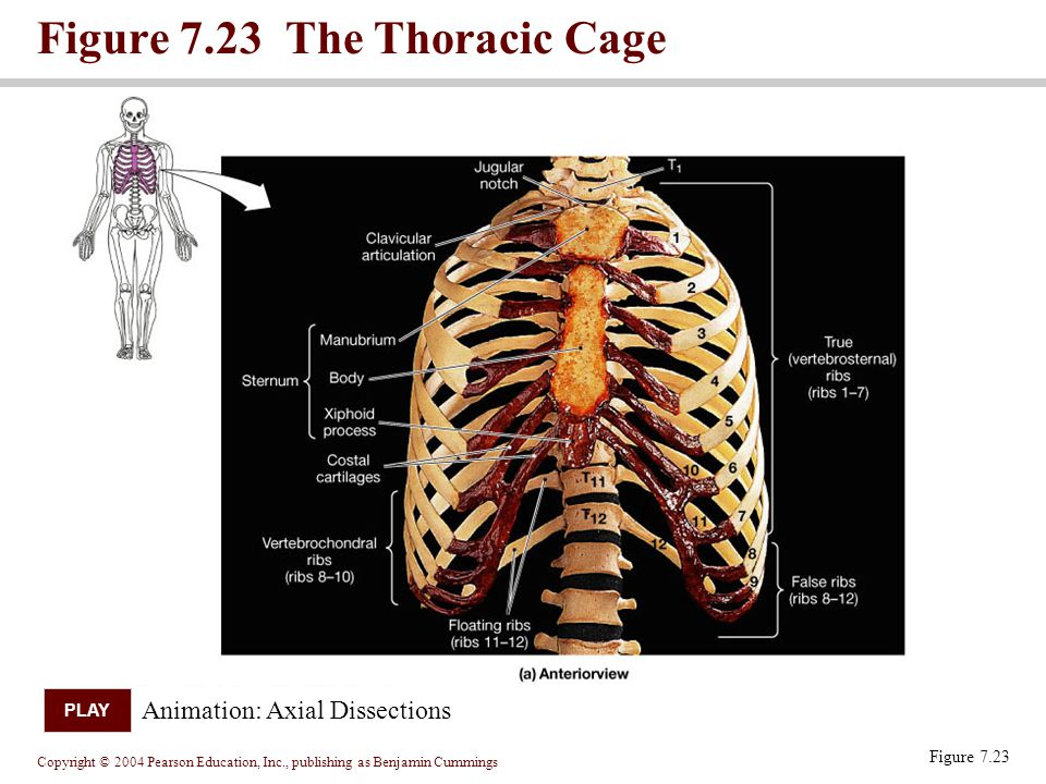 Copyright © 2004 Pearson Education, Inc., publishing as Benjamin Cummings Figure 7.23 The Thoracic Cage Figure 7.23 Animation: Axial Dissections PLAY