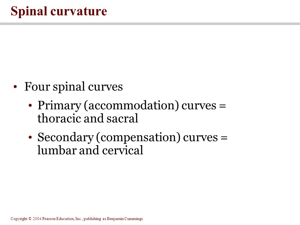 Copyright © 2004 Pearson Education, Inc., publishing as Benjamin Cummings Four spinal curves Primary (accommodation) curves = thoracic and sacral Secondary (compensation) curves = lumbar and cervical Spinal curvature
