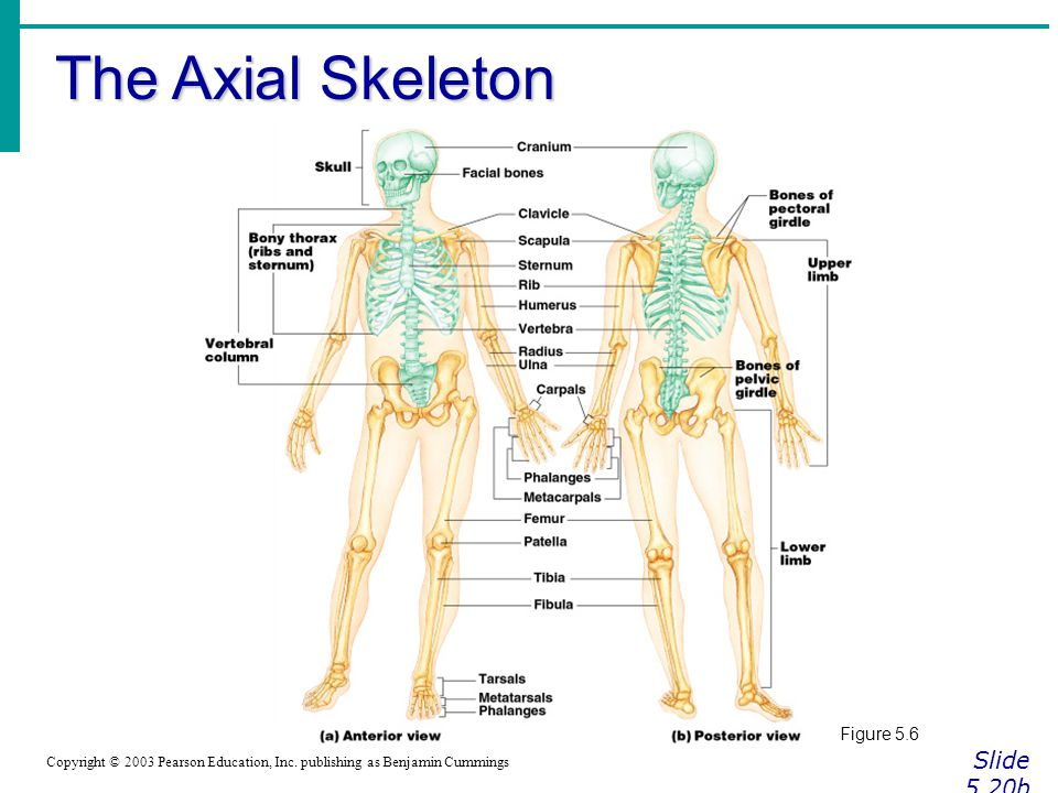 The Axial Skeleton Slide 5.20b Copyright © 2003 Pearson Education, Inc.
