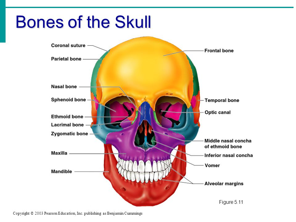 Bones of the Skull Copyright © 2003 Pearson Education, Inc.