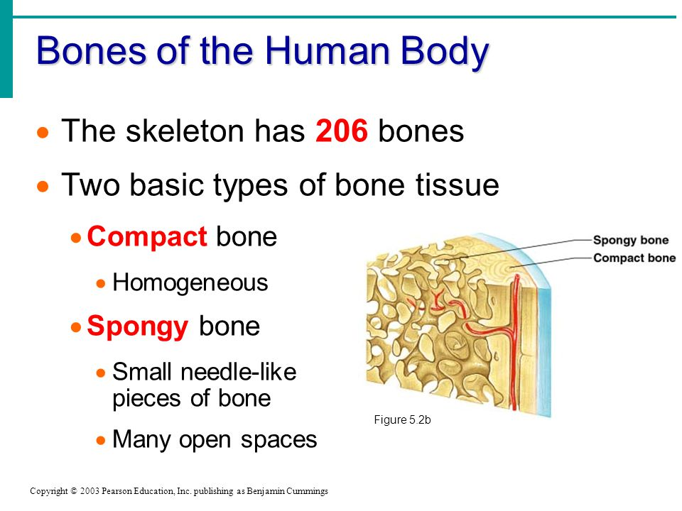 Bones of the Human Body Copyright © 2003 Pearson Education, Inc.