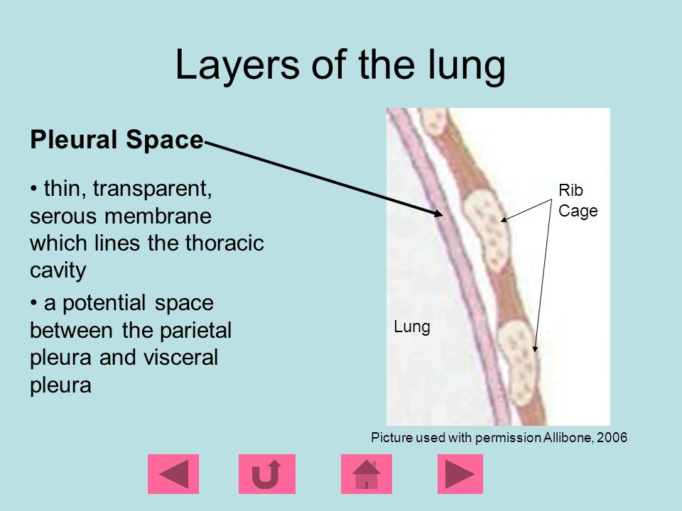 The normal lung Intrapulmonary pressure -the pressure within the alveoli -as the chest expands on inspiration the intrapulmonary pressure becomes more negative, which causes air to be sucked into the lungs.