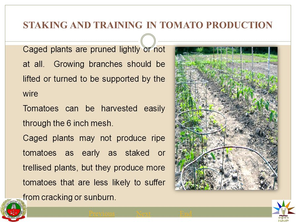STAKING AND TRAINING IN TOMATO PRODUCTION Previous NextEnd Caged plants are pruned lightly or not at all.