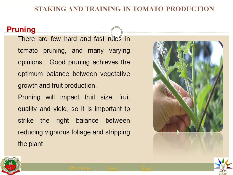 STAKING AND TRAINING IN TOMATO PRODUCTION Previous NextEnd There are few hard and fast rules in tomato pruning, and many varying opinions.