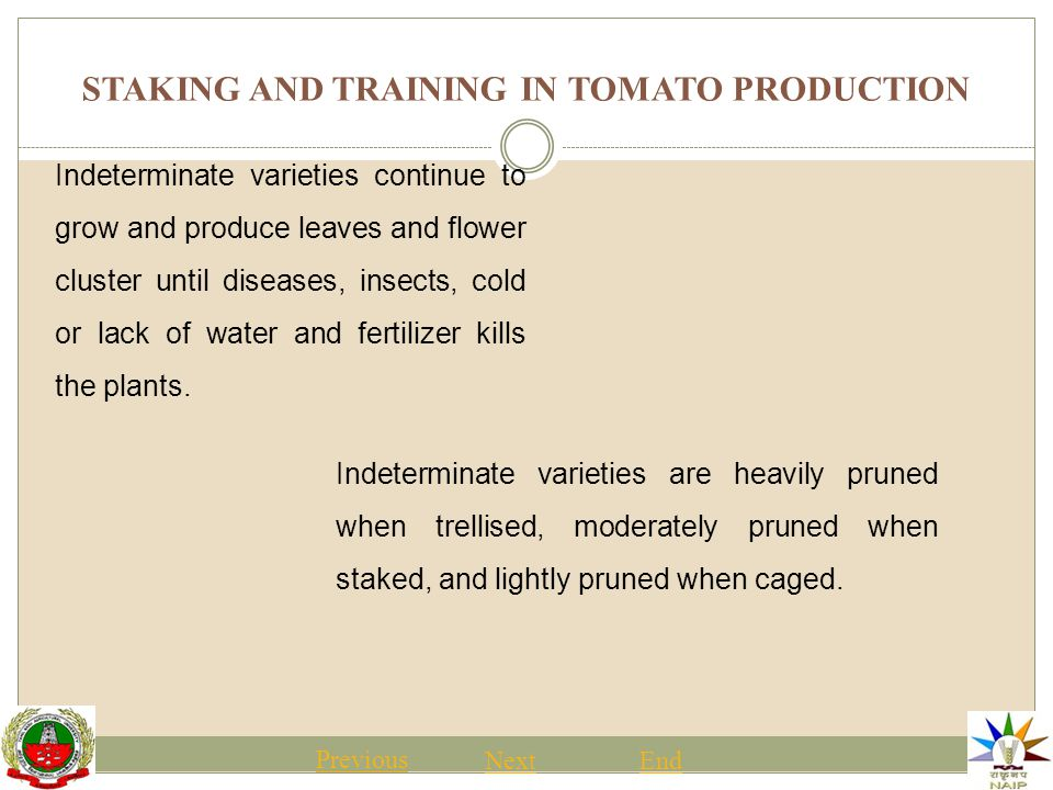 STAKING AND TRAINING IN TOMATO PRODUCTION Previous NextEnd Some growers creatively use other materials to train tomatoes.