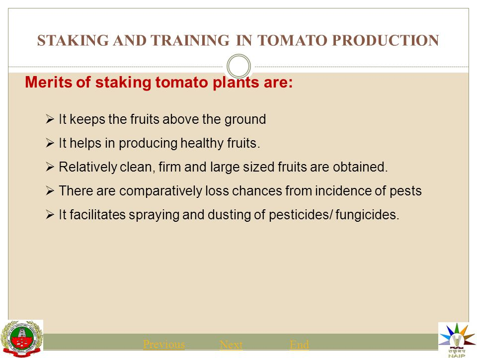 STAKING AND TRAINING IN TOMATO PRODUCTION Previous NextEnd Merits of staking tomato plants are:  It keeps the fruits above the ground  It helps in producing healthy fruits.