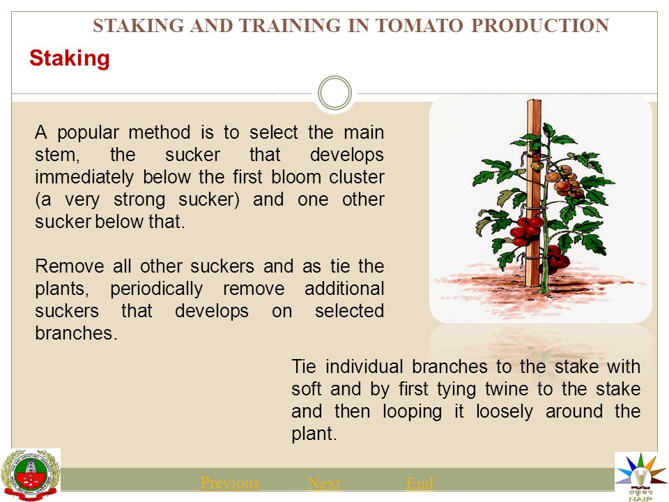 STAKING AND TRAINING IN TOMATO PRODUCTION Previous NextEnd 1)Ground-- no support system 2)Cage—2 foot tall wire cage 14 inches in diameter made from No.
