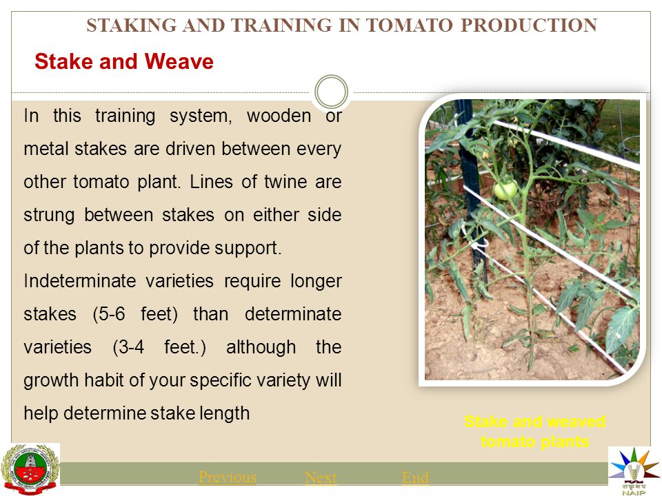 STAKING AND TRAINING IN TOMATO PRODUCTION Stake and weaved tomato plants Previous NextEnd Stake and Weave In this training system, wooden or metal stakes are driven between every other tomato plant.