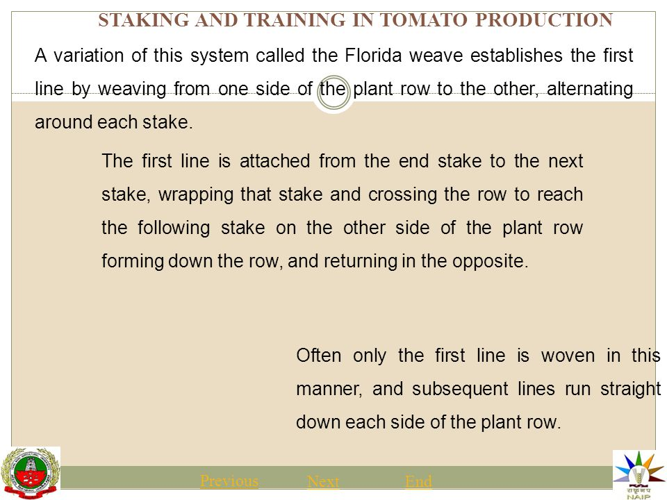 STAKING AND TRAINING IN TOMATO PRODUCTION Previous NextEnd Pruning is usually started as the plants are first being staked or supported, sometimes before stringing them to avoid interference with the lines.