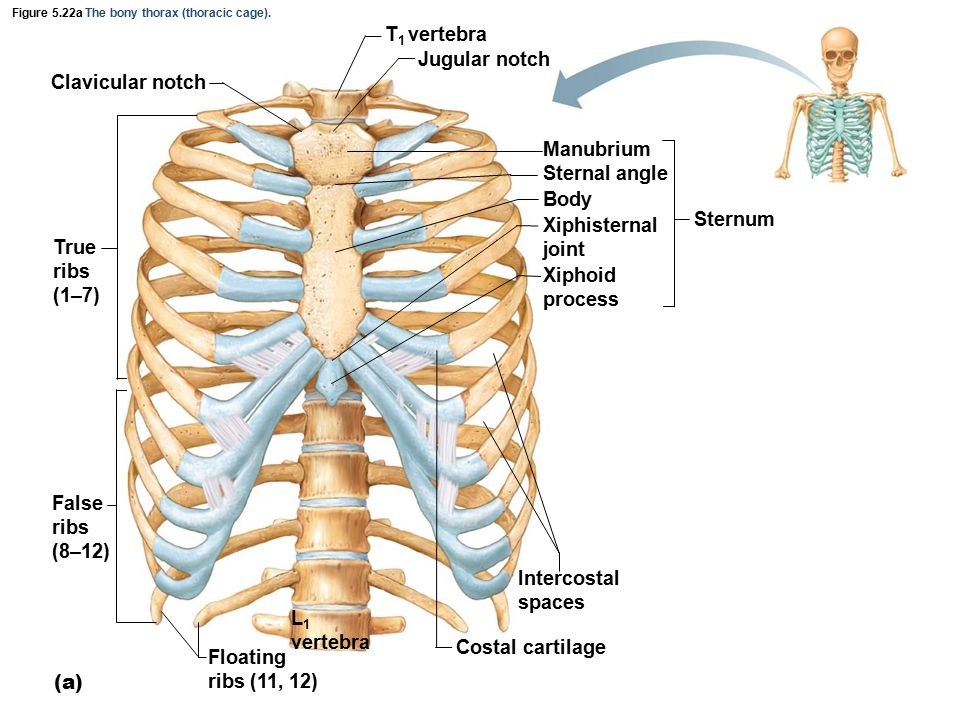 Figure 5.22b The bony thorax (thoracic cage).