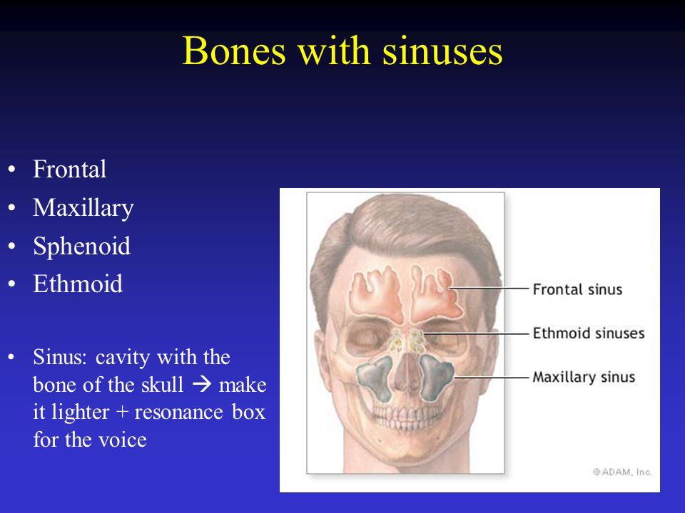 Bones with sinuses Frontal Maxillary Sphenoid Ethmoid Sinus: cavity with the bone of the skull  make it lighter + resonance box for the voice