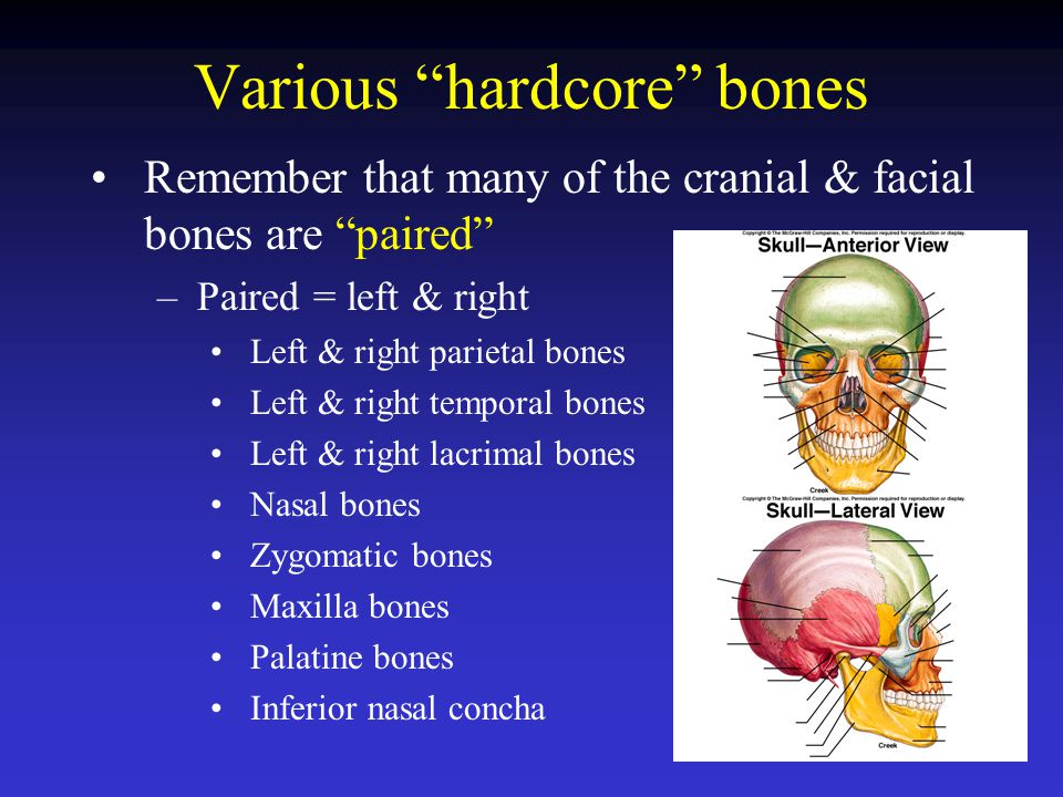 "Various ""hardcore"" bones Remember that many of the cranial & facial bones are ""paired"" –Paired = left & right Left & right parietal bones Left & right"