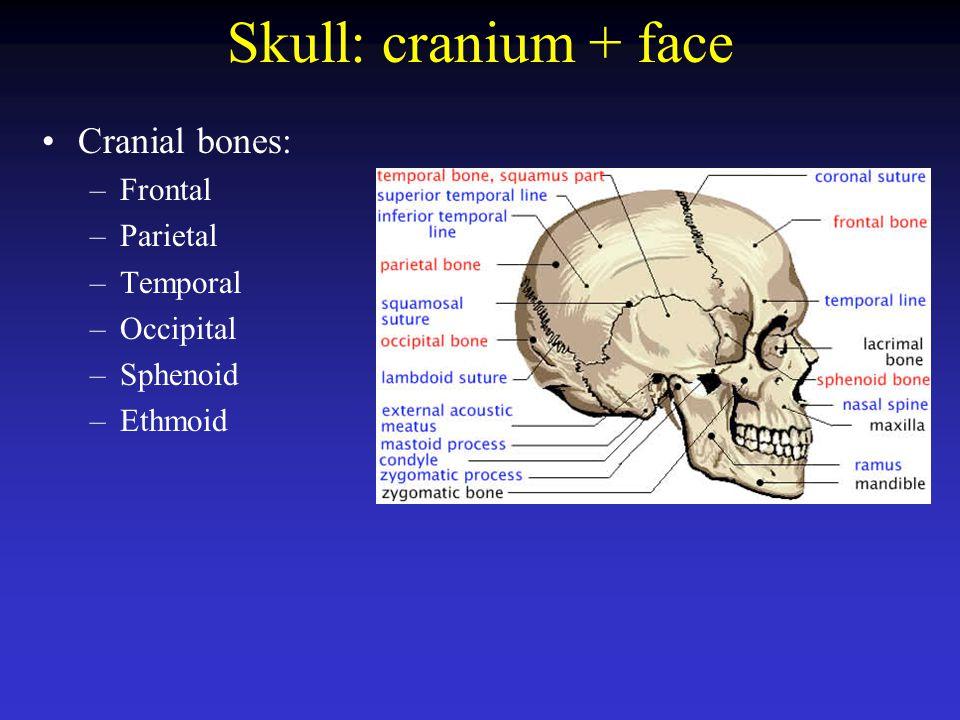 Frontal bone Parietal bone Occipital bone –Foramen magnum –Occipital condyle