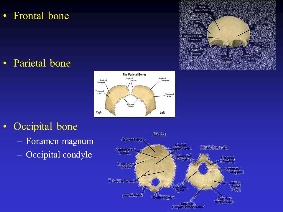 Note C7: prominent vertebra (landmark on the vertebral column